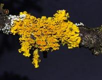 αναπτυγμένο beautifly σφουγγάρι παρασίτων structur κίτρινο Στοκ φωτογραφία με δικαίωμα ελεύθερης χρήσης