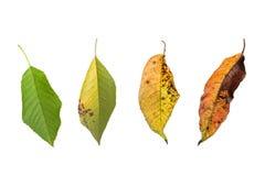 Αναπτυξιακή διαδικασία ενός πράσινου φύλλου κερασιών στο λευκό Στοκ Εικόνες