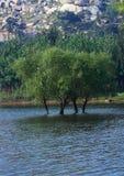 αναπτύξτε τις ιτιές ποταμών στοκ φωτογραφίες με δικαίωμα ελεύθερης χρήσης