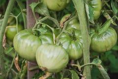 αναπτύξτε τις ντομάτες Μια πράσινη ντομάτα σε έναν θάμνο στοκ φωτογραφία με δικαίωμα ελεύθερης χρήσης