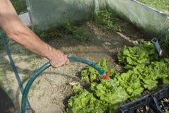αναπτύσσοντας μαρούλι στοκ φωτογραφία με δικαίωμα ελεύθερης χρήσης