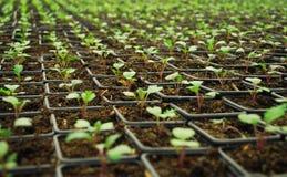 αναπτύσσοντας μικρά φυτά Στοκ Φωτογραφία