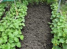 Αναπτύσσοντας οργανικά λαχανικά Στοκ Φωτογραφία