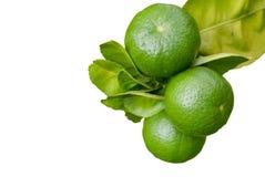 αναπτύσσοντας οργανικό δέντρο λεμονιών λεμονιών Στοκ Εικόνες