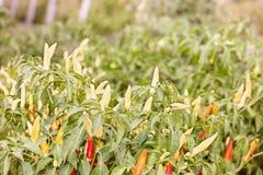 Αναπτύσσοντας πιπέρια Στοκ Εικόνες