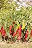 Αναπτύσσοντας πιπέρια Στοκ Φωτογραφία
