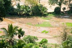 αναπτύσσοντας ρύζι στοκ εικόνες με δικαίωμα ελεύθερης χρήσης