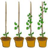 αναπτύσσοντας στάδια φυτώ Στοκ εικόνες με δικαίωμα ελεύθερης χρήσης