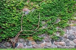 αναπτύσσοντας τοίχος αμπέ Στοκ Εικόνες