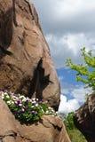 αναπτύσσοντας τοίχος βράχου φυτών Στοκ Εικόνες