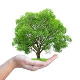 Αναπτύσσοντας το δέντρο διαθέσιμο Στοκ φωτογραφία με δικαίωμα ελεύθερης χρήσης