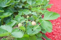 αναπτύσσοντας φράουλες Στοκ φωτογραφία με δικαίωμα ελεύθερης χρήσης