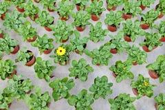 αναπτύσσοντας marigolds θερμοκηπίων σειρές Στοκ φωτογραφία με δικαίωμα ελεύθερης χρήσης