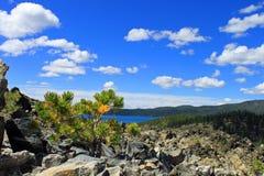 αναπτύσσοντας obsidian μικρό δέντ&rho Στοκ εικόνα με δικαίωμα ελεύθερης χρήσης