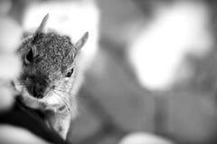 αναρρίχηση του σκιούρου Στοκ φωτογραφία με δικαίωμα ελεύθερης χρήσης