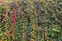 αναρρίχηση του τοίχου φυτών Στοκ Εικόνα
