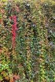 αναρρίχηση του τοίχου φυτών Στοκ φωτογραφία με δικαίωμα ελεύθερης χρήσης