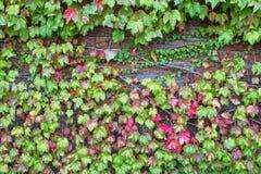 Αναρρίχηση του φυτού, φύλλα κισσών στο τουβλότοιχο κατά τη διάρκεια του φθινοπώρου Στοκ Εικόνες