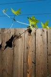 αναρρίχηση του φυτού Στοκ Φωτογραφία