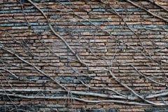 Αναρρίχηση των εγκαταστάσεων με τα ξηρά μούρα σε έναν τουβλότοιχο στοκ φωτογραφία με δικαίωμα ελεύθερης χρήσης