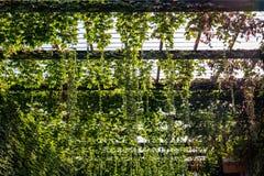Αναρρίχηση των πράσινων εγκαταστάσεων Στοκ Εικόνες