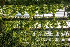 Αναρρίχηση των πράσινων εγκαταστάσεων Στοκ Φωτογραφίες
