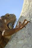 αναρριχείται στο iguana Στοκ Φωτογραφίες