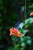 Αναρριχητικό φυτό σαλπίγγων άνθισης κινεζικό Στοκ φωτογραφίες με δικαίωμα ελεύθερης χρήσης