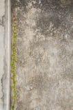 Αναρριχητικό φυτό στον τοίχο Στοκ Εικόνες