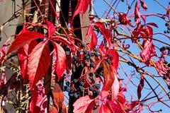 Αναρριχητικό φυτό της Βιρτζίνια, αναρριχητικό φυτό Βικτώριας, πέντε-με φύλλα κισσός, quinquefolia parthenocissus το φθινόπωρο στοκ φωτογραφία με δικαίωμα ελεύθερης χρήσης