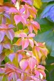 Αναρριχητικό φυτό της Βιρτζίνια το φθινόπωρο, parthenocissus Στοκ Εικόνες
