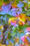 Αναρριχητικό φυτό της Βιρτζίνια το φθινόπωρο, parthenocissus Στοκ Φωτογραφία