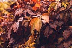 Αναρριχητικό φυτό της Βιρτζίνια φθινοπώρου Στοκ Εικόνα