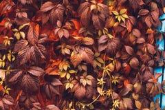 Αναρριχητικό φυτό της Βιρτζίνια φθινοπώρου Στοκ εικόνες με δικαίωμα ελεύθερης χρήσης