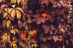 Αναρριχητικό φυτό της Βιρτζίνια φθινοπώρου Στοκ εικόνα με δικαίωμα ελεύθερης χρήσης