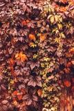 Αναρριχητικό φυτό της Βιρτζίνια φθινοπώρου Στοκ φωτογραφία με δικαίωμα ελεύθερης χρήσης