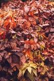 Αναρριχητικό φυτό της Βιρτζίνια φθινοπώρου Στοκ Φωτογραφία