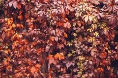 Αναρριχητικό φυτό της Βιρτζίνια φθινοπώρου Στοκ Φωτογραφίες