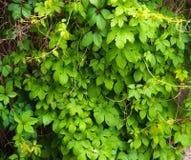 Αναρριχητικό φυτό της Βιρτζίνια Στοκ Εικόνες