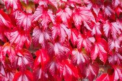 Αναρριχητικό φυτό της Βιρτζίνια Στοκ Φωτογραφίες