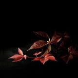 Αναρριχητικό φυτό της Βιρτζίνια Στοκ φωτογραφία με δικαίωμα ελεύθερης χρήσης