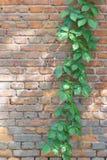 Αναρριχητικό φυτό της Βιρτζίνια Στοκ εικόνα με δικαίωμα ελεύθερης χρήσης