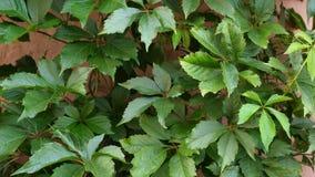Αναρριχητικό φυτό της Βιρτζίνια quinquefolia Parthenocissus φιλμ μικρού μήκους