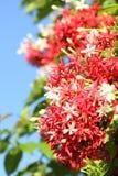 Αναρριχητικό φυτό του Ρανγκούν Στοκ Εικόνες