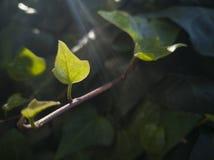 11-αναρριχητικό φυτό Στοκ Εικόνα