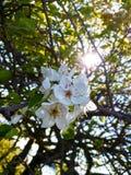 ανασκόπησης κόκκινο δέντρο αχλαδιών αχλαδιών φυλλώματος πράσινο Στοκ Εικόνες