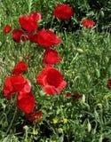 ανασκόπησης μεγάλο διακοσμητικό λευκό παπαρουνών λουλουδιών απομονωμένο κήπος Στοκ Εικόνα