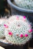 ανασκόπησης πράσινο ροζ λουλουδιών κάκτων στενό επάνω Στοκ Εικόνες