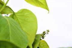 ανασκόπησης δροσοσκέπαστο φυλλώματος λευκό φύλλων πλαισίων πράσινο Στοκ εικόνα με δικαίωμα ελεύθερης χρήσης