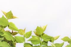 ανασκόπησης δροσοσκέπαστο φυλλώματος λευκό φύλλων πλαισίων πράσινο Στοκ φωτογραφίες με δικαίωμα ελεύθερης χρήσης